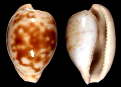 Cape Cowries 2