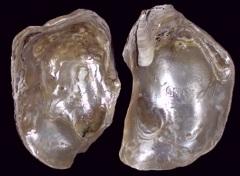 Etheria elliptica