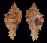 Naquetia rhondae